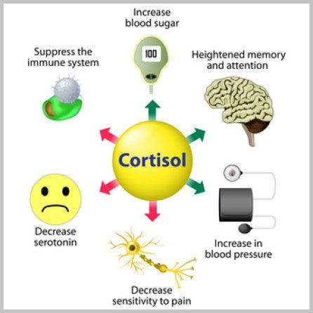 Hormones - cortisol - muskultura.mk
