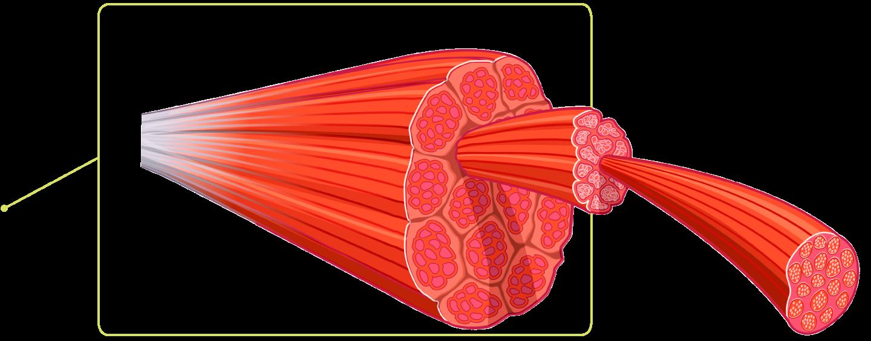 Скелетни мускулни влакна